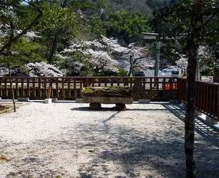 境内から桜.jpg