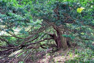 樹齢千年イチイの樹.jpg