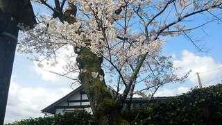 鳥居横桜.jpg